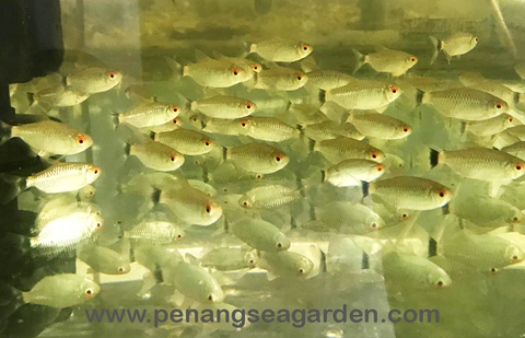 Red Eyes Tetra 红眼仔 RM1-01w.jpg