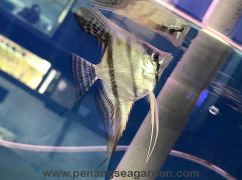 Peruvian Angelfish 秘鲁神仙鱼 RM18-01w.jpg