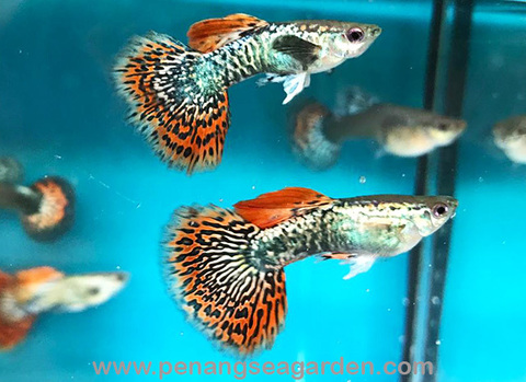 Big Ear Redtail Snakeskin Guppy 大耳红尾蛇皮 RM30-20w.jpg