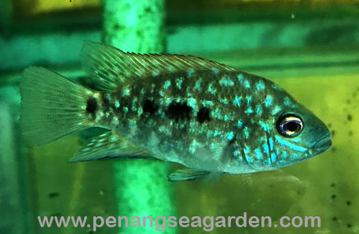 Texas Green Cichlid 金钱豹 2inc RM10-05w.jpg