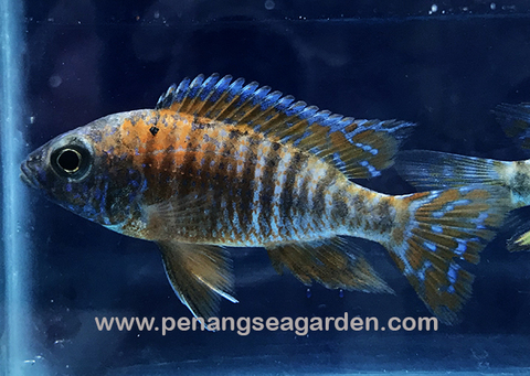 Red Peacock Cichlid 红孔雀 2inc RM6 (1)w.jpg