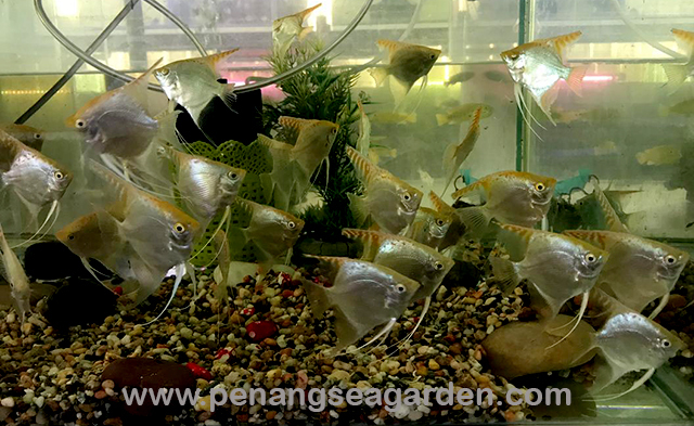 Golden Angelfish 金神仙 RM3.50-2w.jpg
