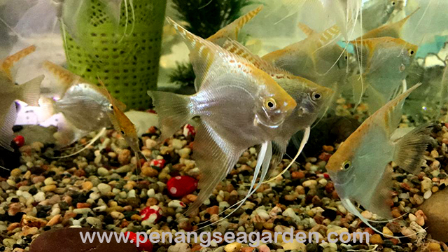 Golden Angelfish 金神仙 RM3.50-3w.jpg