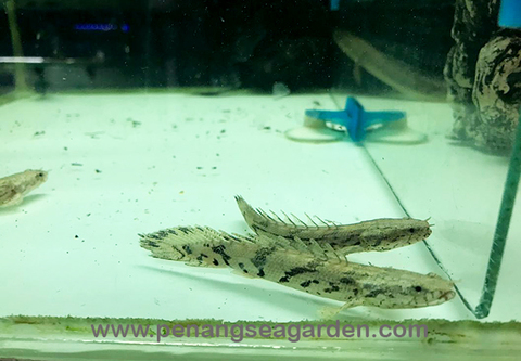 Polypterus Endlicheri 虎斑恐龍 RM38 Apr19-1w.jpg