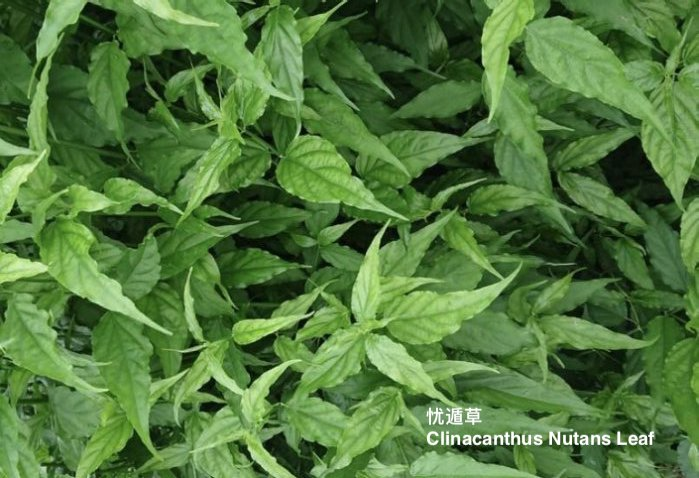 clinacanthus nutans leaf 忧盾草.jpg