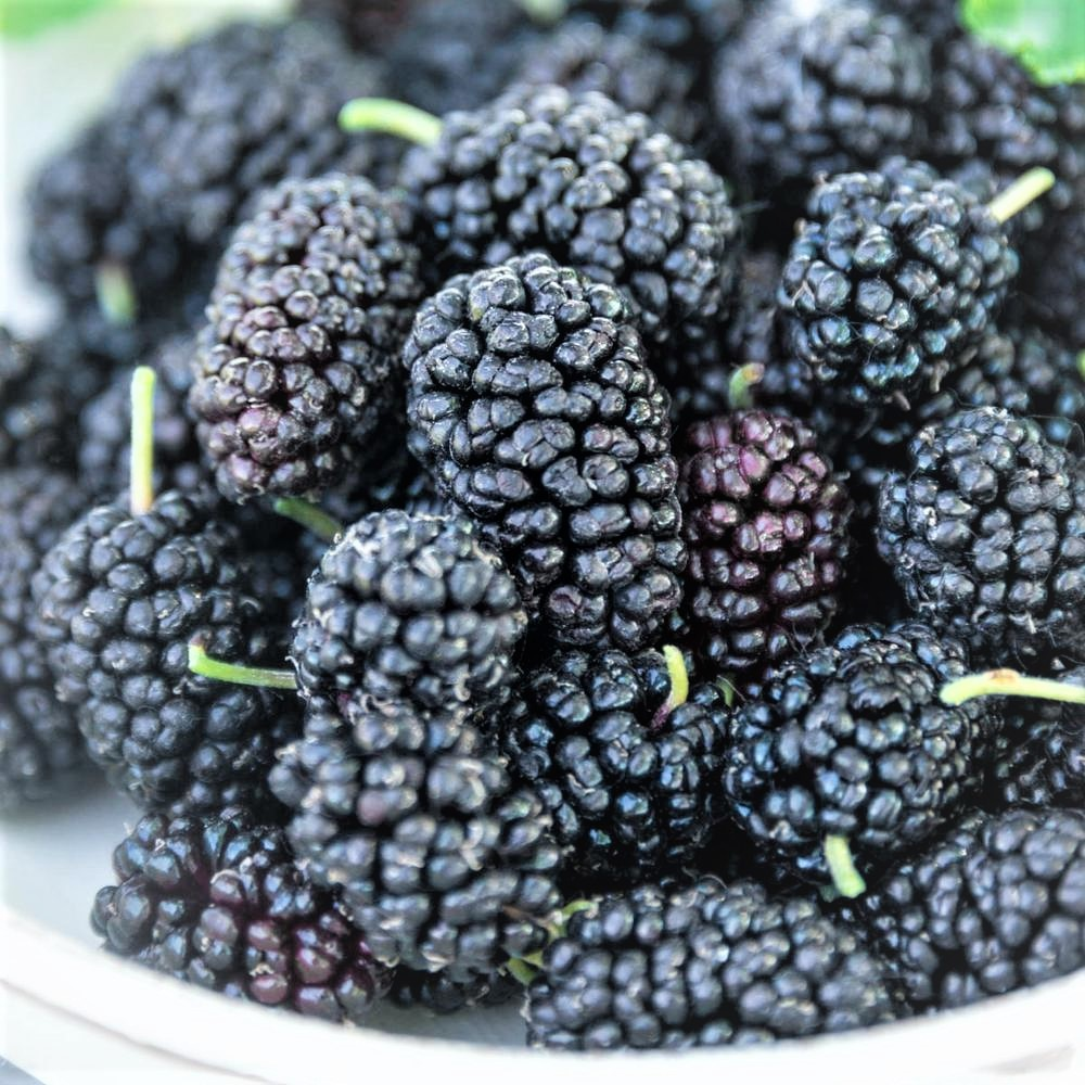 black murberry  photo..jpg