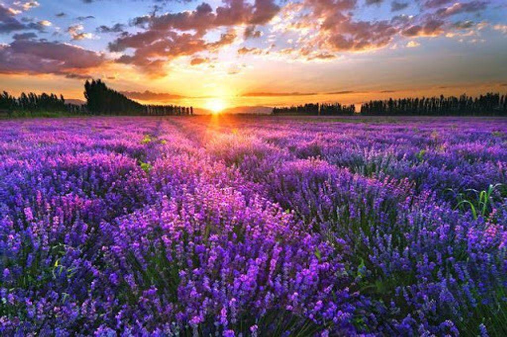 lavendar4.jpg