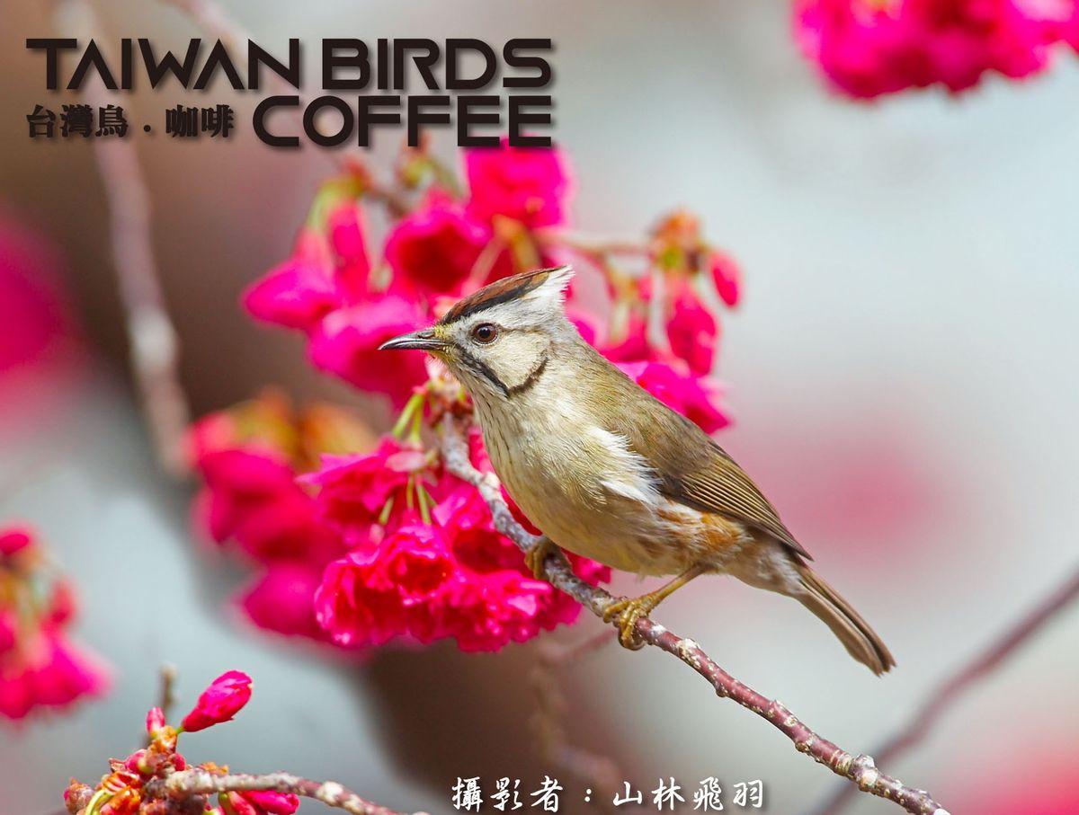 台灣特有種 - 冠羽畫眉