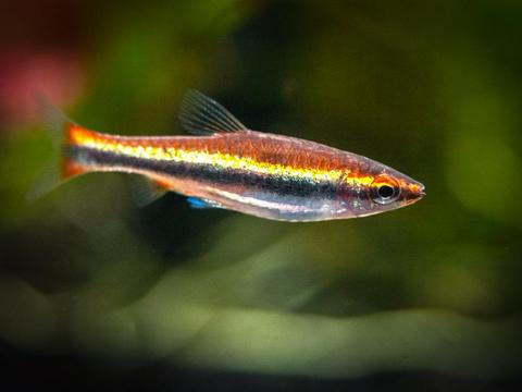 Red-Beckfords-Pencilfish-9_1024x1024.jpg