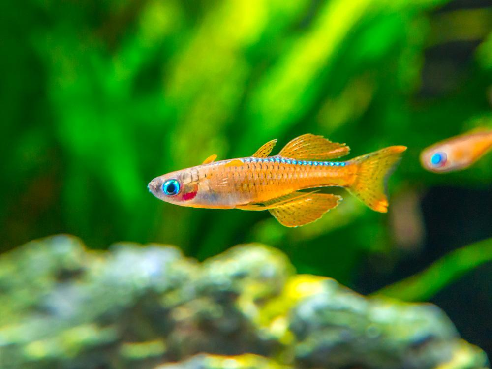 Red-Neon-Blue-Eye-Rainbowfish-13_1024x1024.jpg