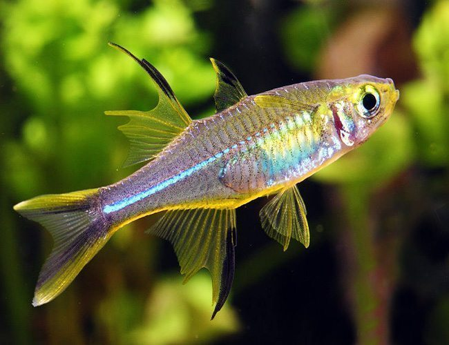 Celebes-Tropical-Rainbowfish.jpg