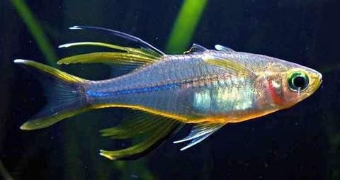 Celebes-Rainbow-Marosatherina-ladigesi_1024x.jpg