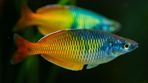 Boesemani-Rainbow-Fish-Eat.jpg