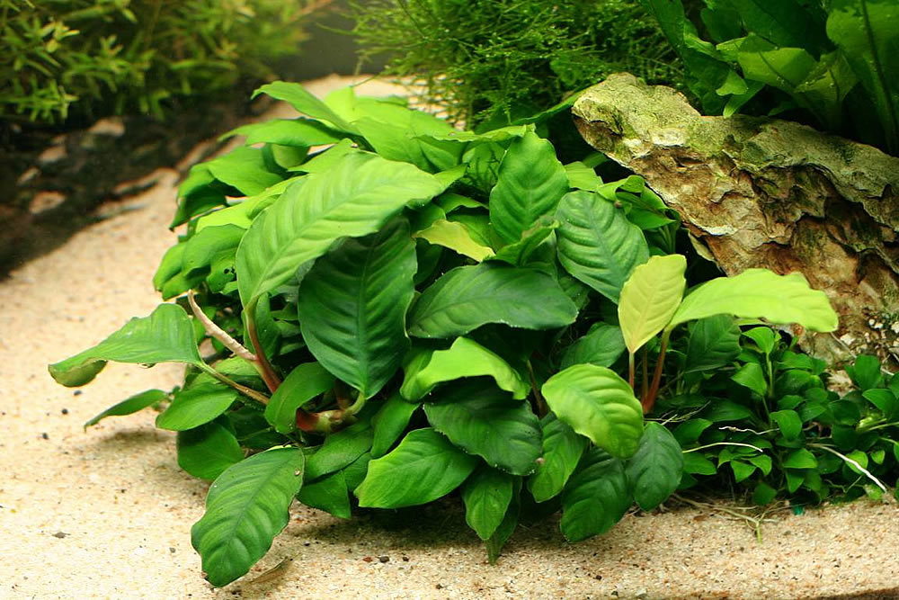 Anubias-Coffefolia-Caresheet-information-Anubias-Coffeefolia-for-sale-and-where-to-buy-AquaticMag-7.jpg