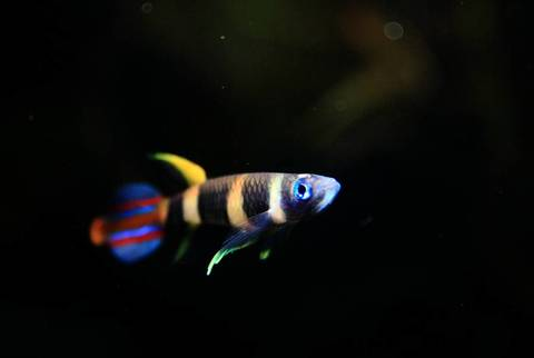clown-killifish-epiplatys-annulatus.jpg
