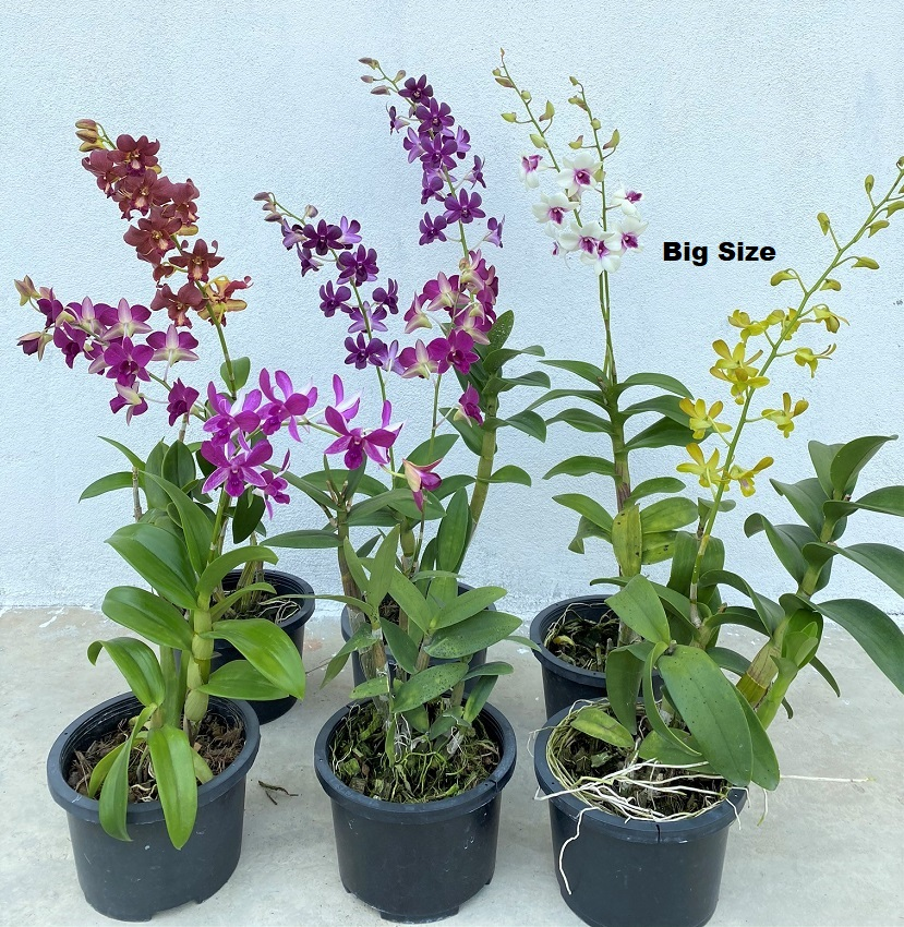 Big size orchid.png