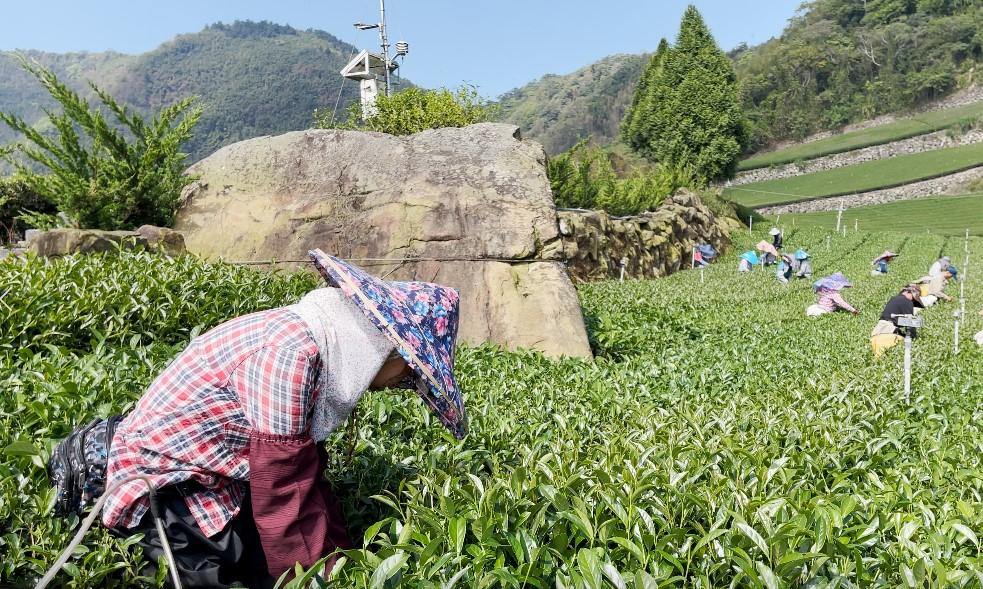 2021陽光宣言春茶02.jpg