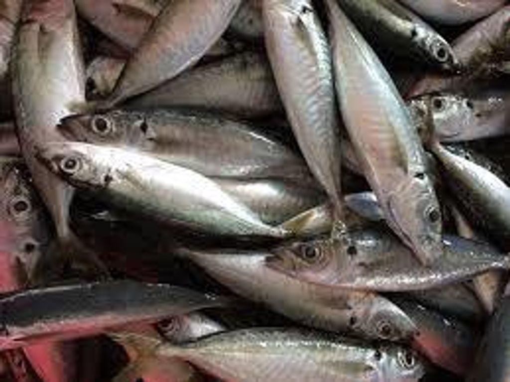 ikan sardin.jpg