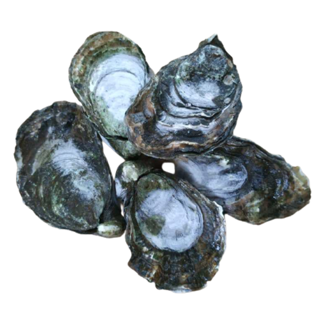 Live_Oyster_M_Size-removebg-preview.png