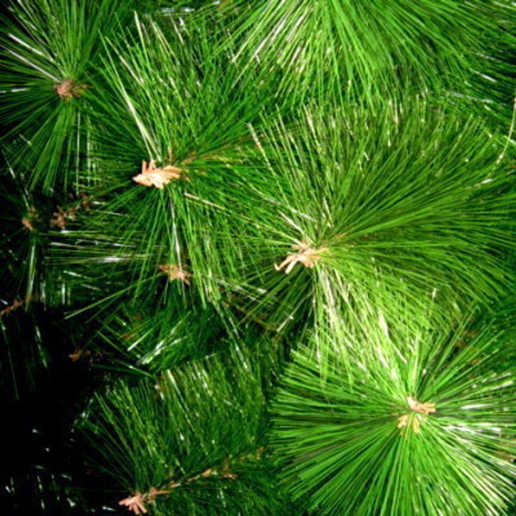 pineleaf-close-400-1.jpg