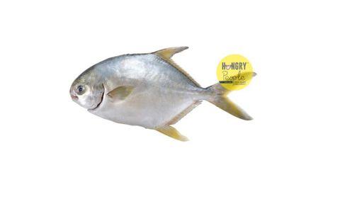 GoldenPomfret 300-400g5.JPG