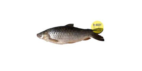 Sultan Fish1.JPG