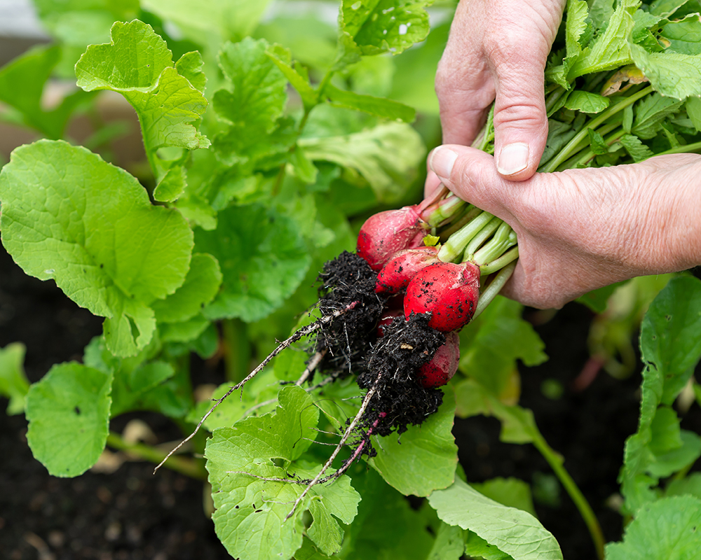 woman-s-hands-holding-ripe-red-radishes.jpg